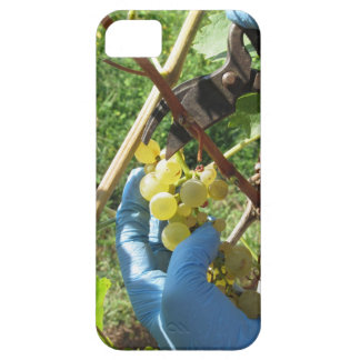 Hand cutting white grapes, harvest time barely there iPhone 5 case