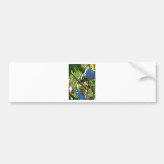 Hand cutting white grapes, harvest time bumper sticker
