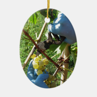 Hand cutting white grapes, harvest time ceramic ornament