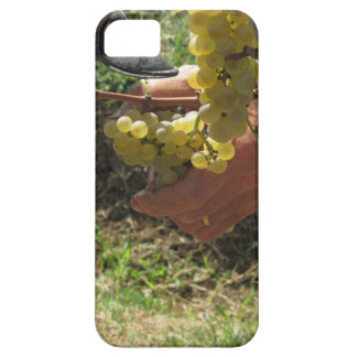 Hand cutting white grapes, harvest time iPhone 5 case