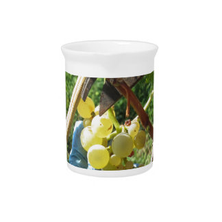 Hand cutting white grapes, harvest time pitcher
