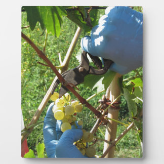 Hand cutting white grapes, harvest time plaque