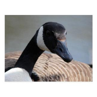Handsome Canadian Goose Postcard