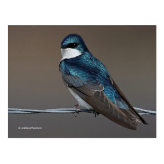 Handsome Tree Swallow: Bird on a Wire Postcard