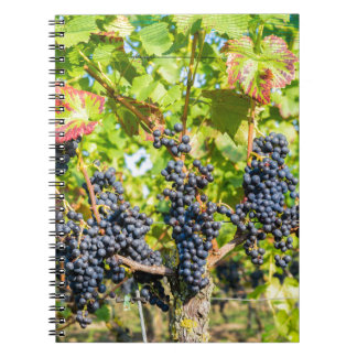 Hanging blue grape bunches in vineyard notebooks