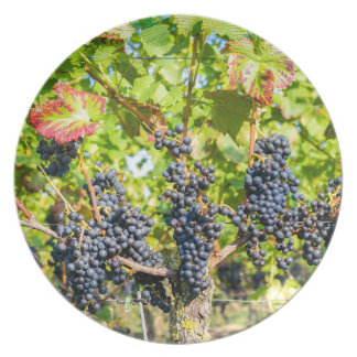 Hanging blue grape bunches in vineyard plate