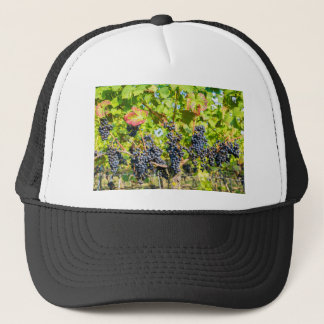 Hanging blue grape bunches in vineyard trucker hat