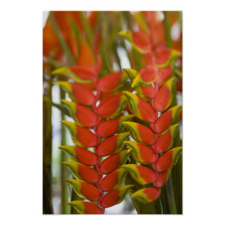 Hanging Heliconia, Weekly Tuesday fruit & Poster