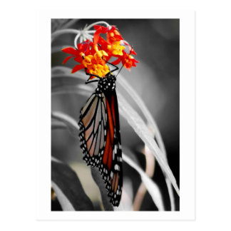 Hanging Monarch butterfly Postcard