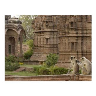 Hanuman Langurs or Black-faced, Common or Grey Postcard