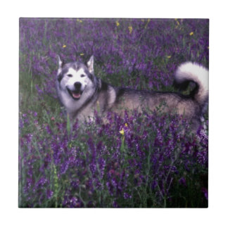 Happy husky dog ceramic tile