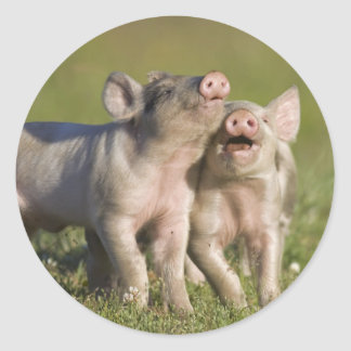 Happy White Piglets Romping in Field Round Sticker