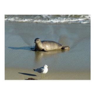 Harbor Seal at La Jolla California Postcard