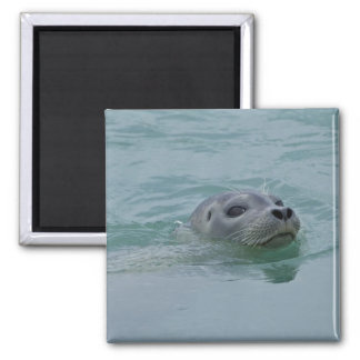 Harbour Seal swimming in Jokulsarlon glacial lake Square Magnet