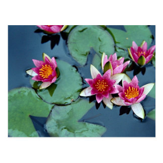 Hardy water lily, red, Nymphaea laydekeri Postcard