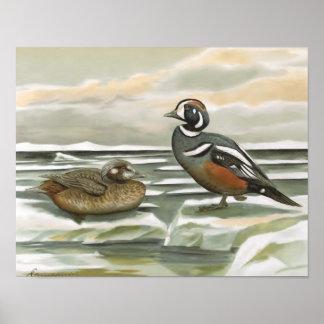 Harlequin Duck Poster