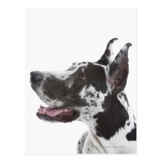 Harlequin Great Dane Postcard
