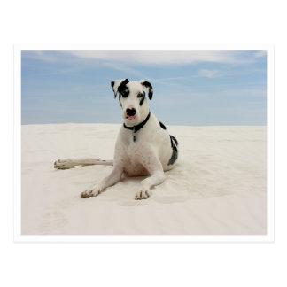 Harlequin Great Dane Puppy Dog Greeting Post Card
