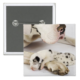Harlequin Great Dane puppy sleeping on mother Pin
