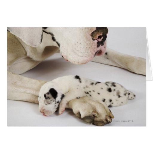Harlequin Great Dane puppy sleeping on mother Greeting Card
