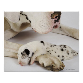 Harlequin Great Dane puppy sleeping on mother Posters