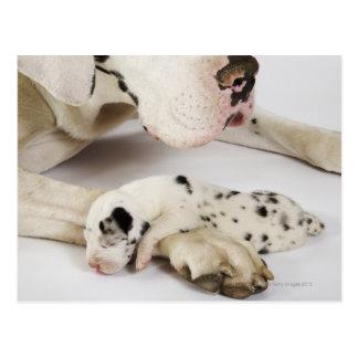 Harlequin Great Dane puppy sleeping on mother's Postcard