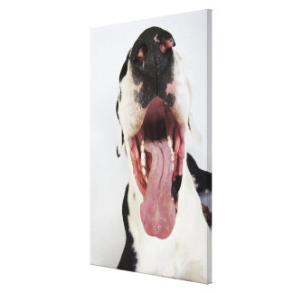 Harlequin Great Dane with open mouth, close-up, Gallery Wrap Canvas
