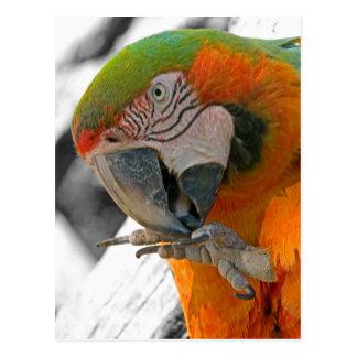 Harlequin Macaw Foot Postcard
