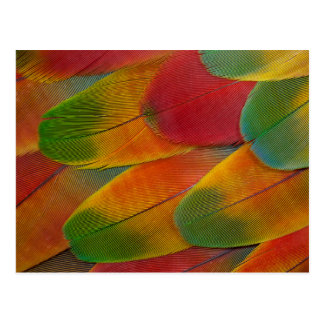 Harlequin Macaw parrot feathers Postcard