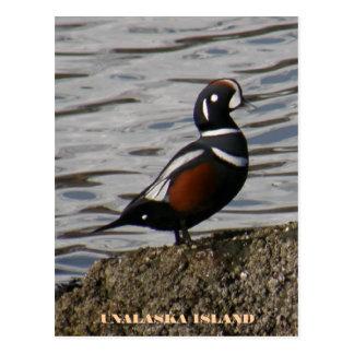 Harlequin Male Duck, Unalaska Island Postcard