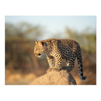 Harnas Wildlife Sanctuary, Namibia Postcard