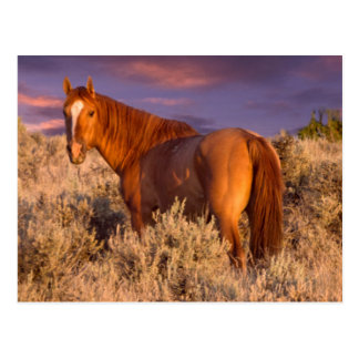 Harney County Wild horse stands alert Postcard