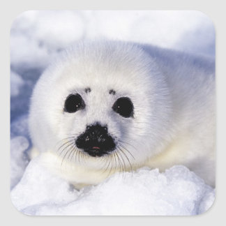 Harp seal pup ice Gulf of St. Lawrence, Square Sticker