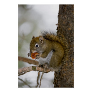 Harriman State Park, Idaho. USA. Red Squirrel Poster