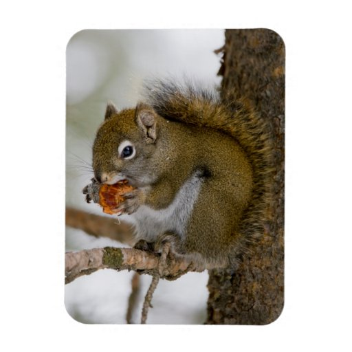 Harriman State Park, Idaho. USA. Red Squirrel Flexible Magnet