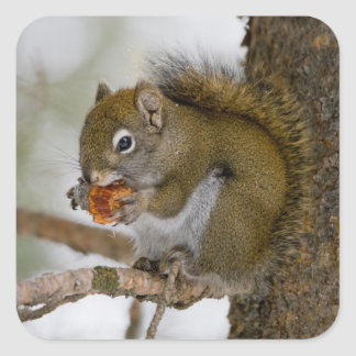 Harriman State Park, Idaho. USA. Red Squirrel Square Sticker