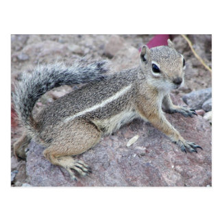 Harris Antelope Squirrel Postcard