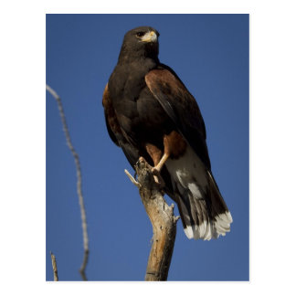 Harris Hawk 1 Postcard