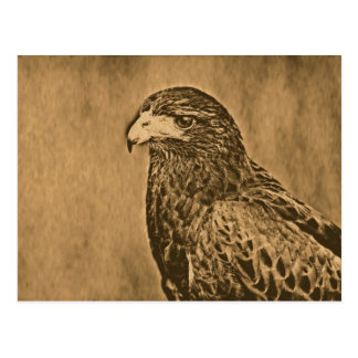 Harris Hawk Bird of Prey Close Up Postcard