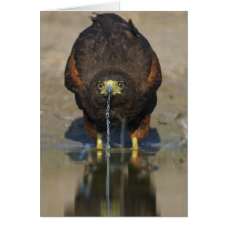 Harris Hawk  Parabuteo unicinctus Card