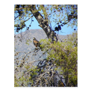 Harris Hawk Postcard