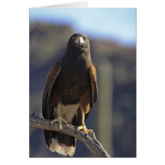 Harris's Hawk 3 Card