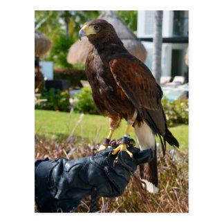 Harris's Hawk on Falconer's Glove, Cancun, Mexico Postcard