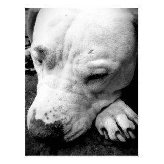 harry potter scar dog white pit bull postcard