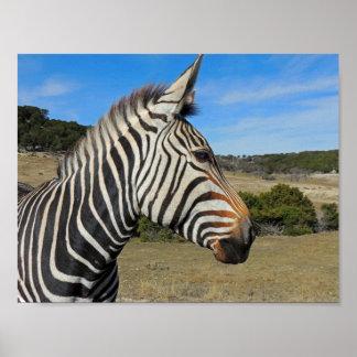 Hartmann's Zebra Profile at Fossil Rim Poster