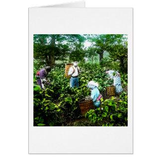 Harvesting Green Tea Leaves Old Japan Farmers Card