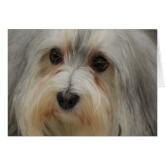 Havanese Note Card