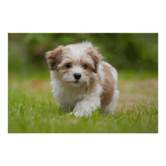 Havanese Puppy Poster