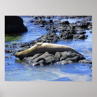 Hawaiian Monk Seal Sunbathing Poster