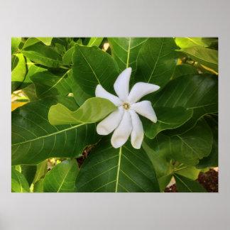 Hawaiian Pikake Jasmine Blossom Poster